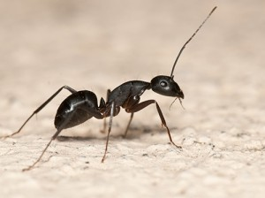 ant exterminators black ant