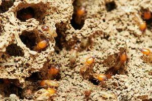 white ant treatment sandy nest