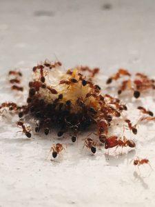 ant exterminators infestation
