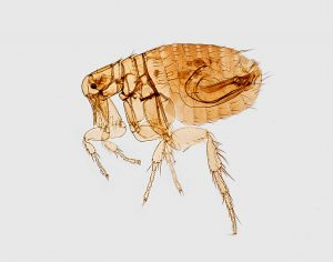 flea pest control services